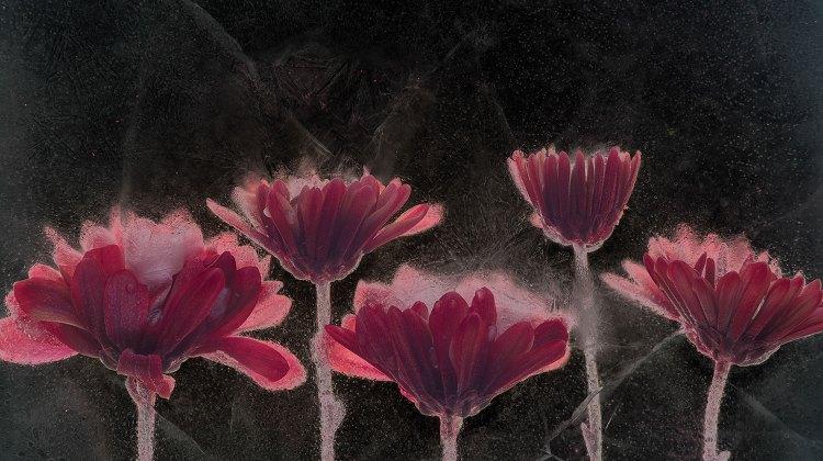 Sam Stapleto's work Asters, inverted luminosity