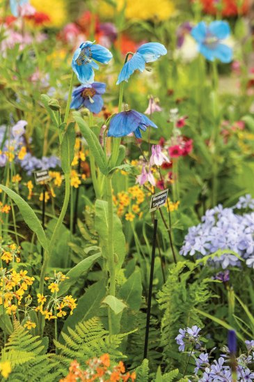 Himalayan blue poppies, Chelsea Flower Show 2019
