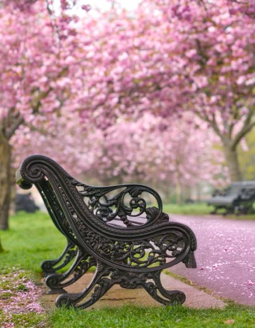 The pink petals of winter magnolia blooms cover trees and garden paths of Greenwich Park in London. An ornate wrought iron park bench along the path invites visitors to sit and enjoy the scene.