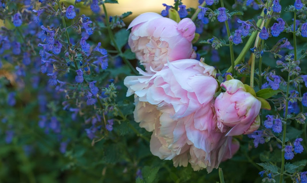plants for a classic Southern garden, pink peonies