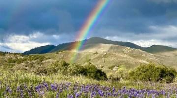 lupin, rainbow, Rancho La Zaca