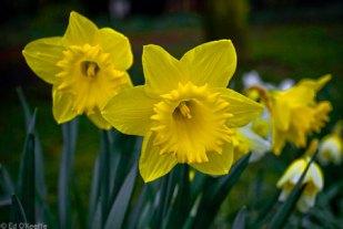 wild_daffodil_flowers_durham_england