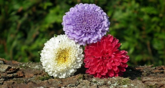 Aster Flower     Meaning  Symbolism and Colors     the variety of Aster flower colors  You can choose the right flower  color for every occasion and surprise the person you love and send him or  her right