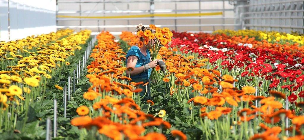 Heimische Blumen Gerbera Wallner