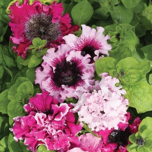 Сорта петунии гибридной | Любимые цветы