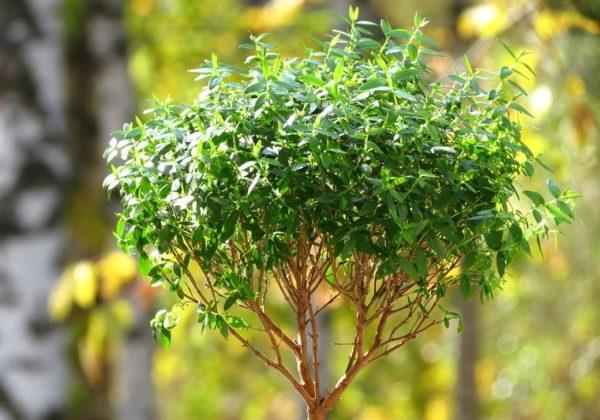 Миртовое дерево. Мирт уход в домашних условиях обрезка пересадка и размножение