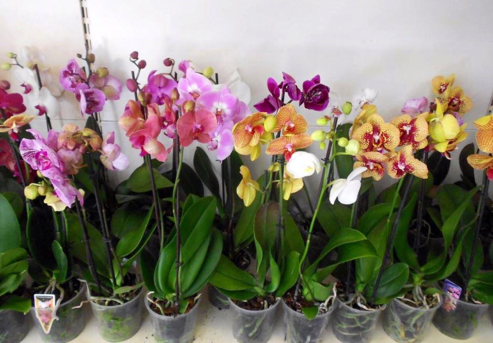 Hoa lan Phalaenopsis trong cửa hàng