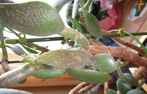 Гниют листья Толстянки