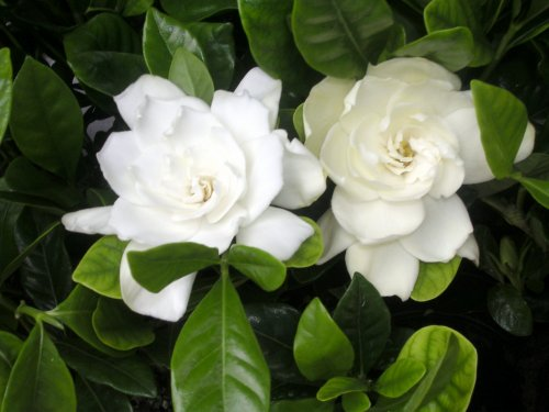 Gardenia Veitchii