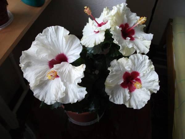 Комнатный Гибискус (Китайская Роза) - уход в домашних условиях