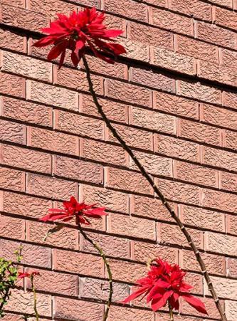 Poinsettia and brick wall