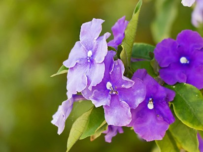 Brunfelsia, Yesterday-Today-Tomorrow, Kiss Me Quick -- take your pick!