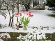 tulips in snow