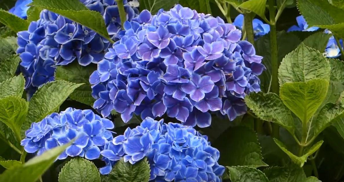 tall flowering plants