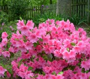 azalea tree care