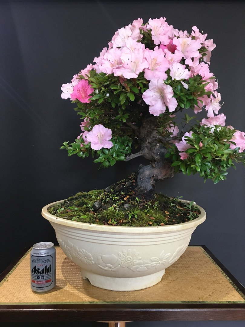 bonsai-rhododendron