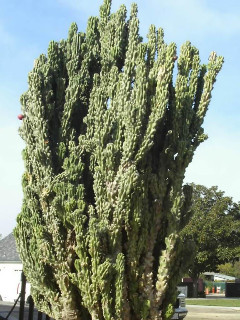 cacti-succulent