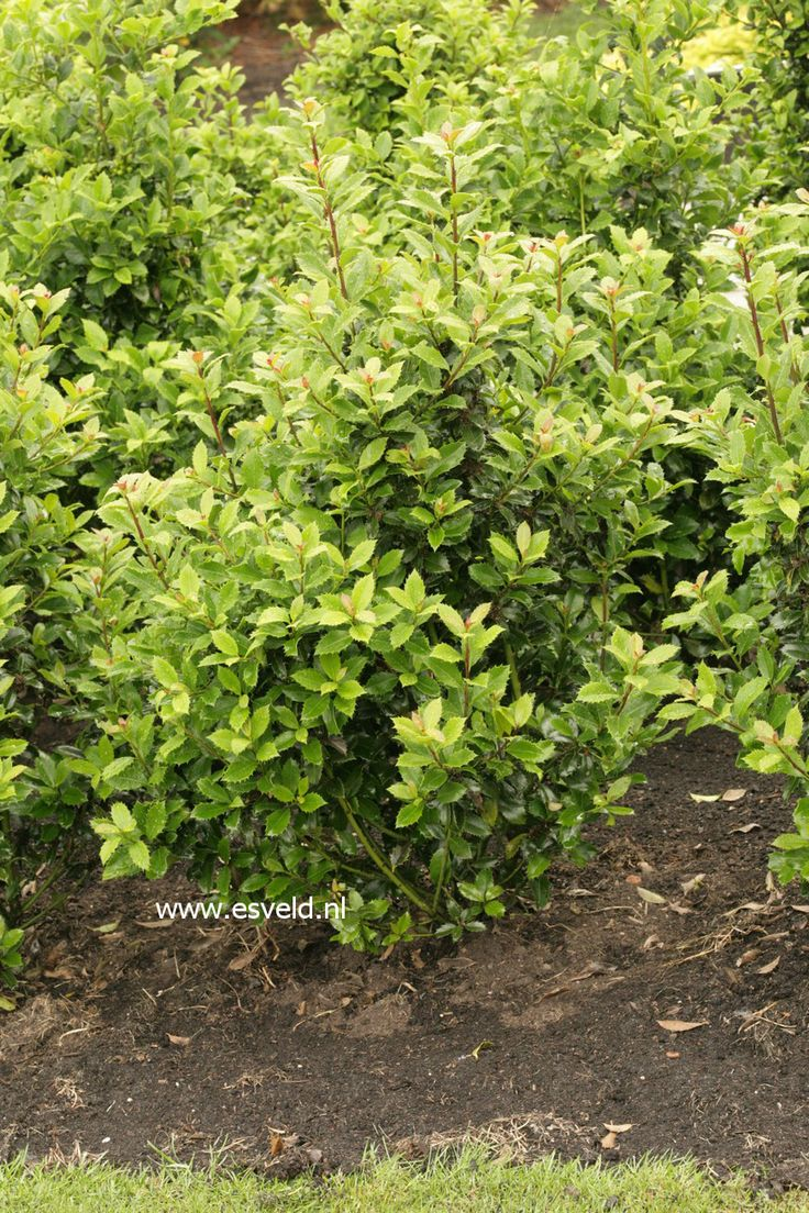 evergreen-hedge