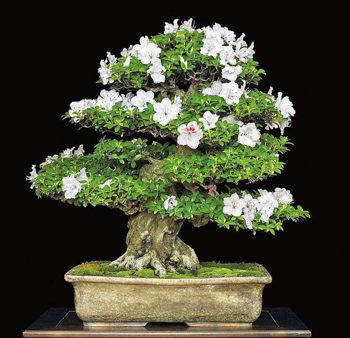 indoor-azalea-bonsai