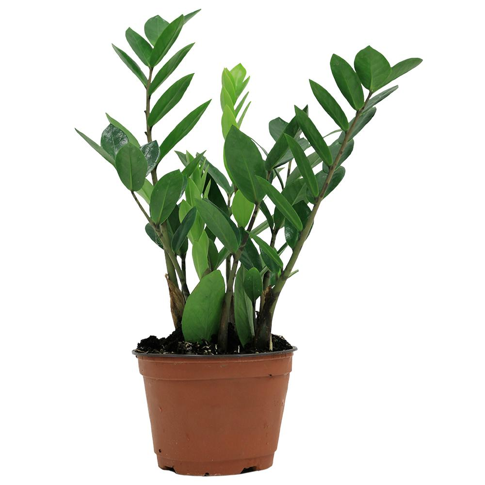 insulin-plant-home-depot