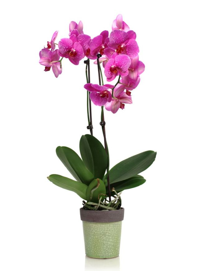 Phalaenopsis Orchid Care And Maintenance Flowers Reviews