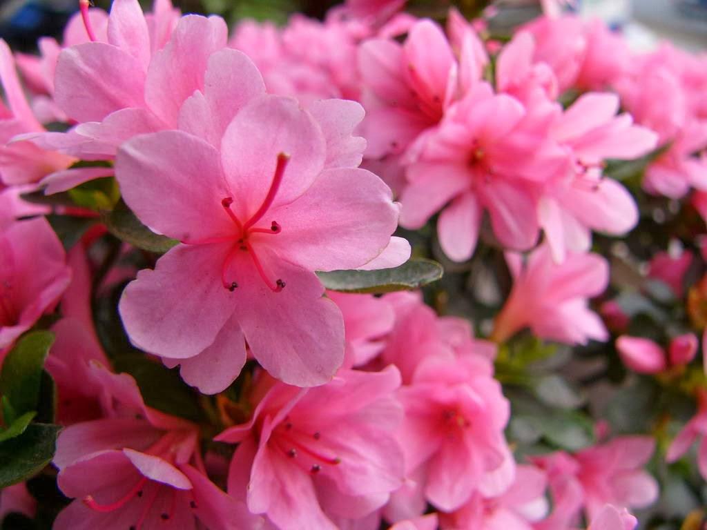 red-azalea-flower
