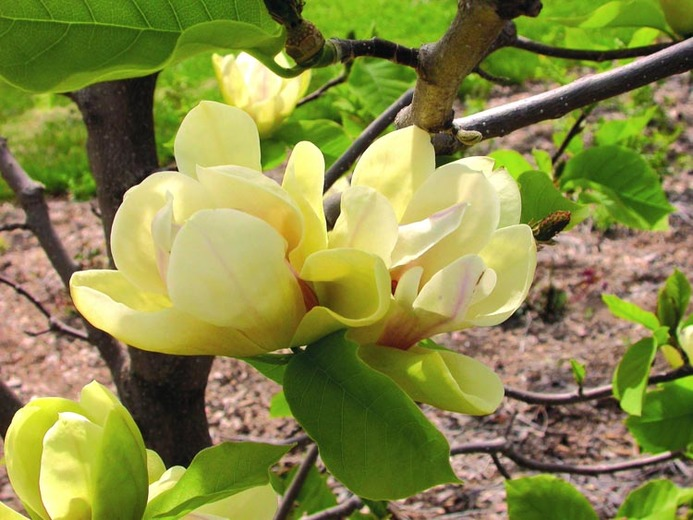 yellow-magnolia-trees