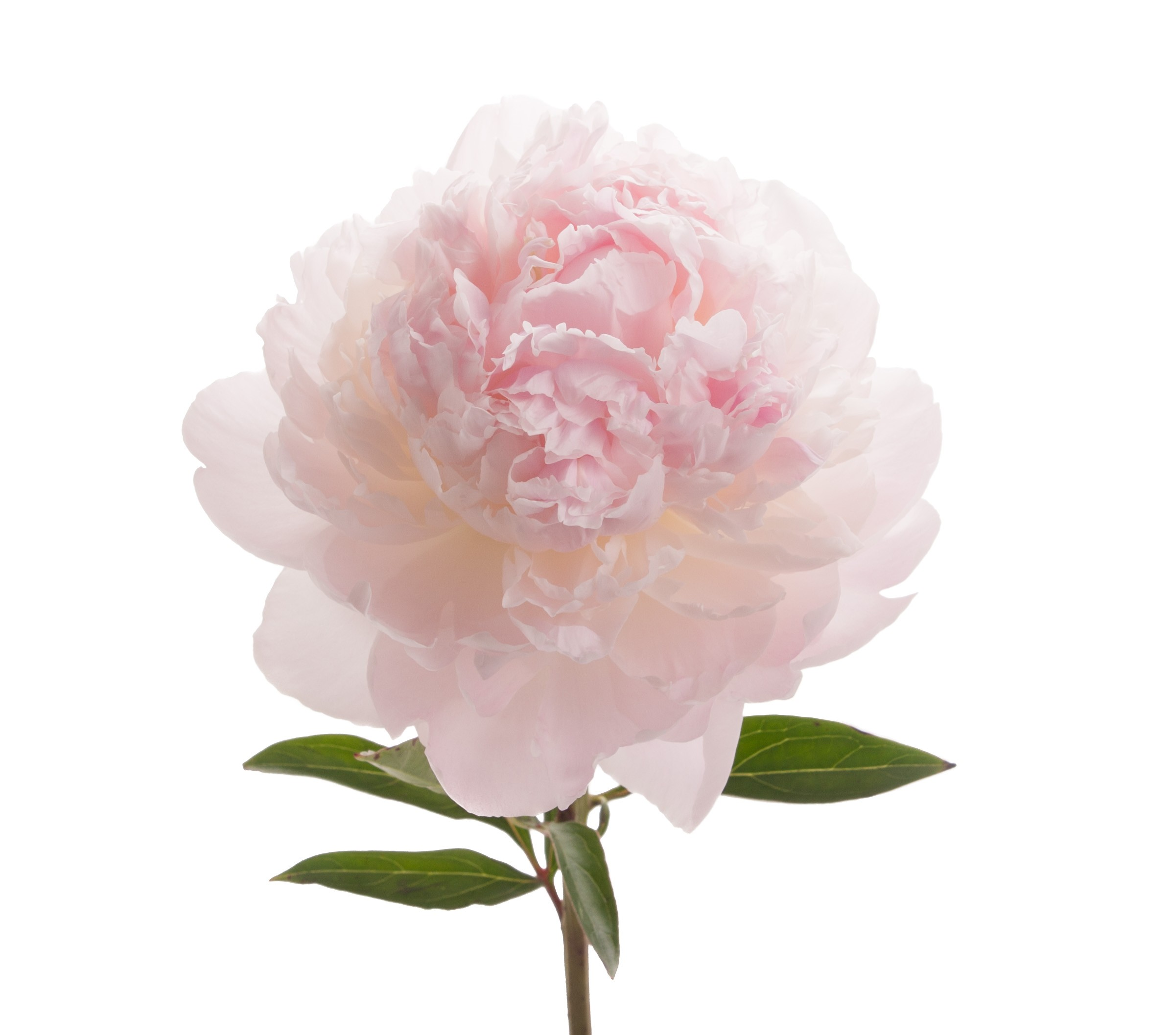 Blush Peonies Flower May Delivery