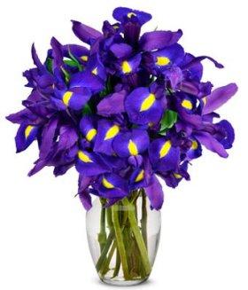 Flowers – Stunning Blue Iris – 10 Stems (FREE Vase Included)