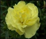 Bulk Carnations | Yellow | 400
