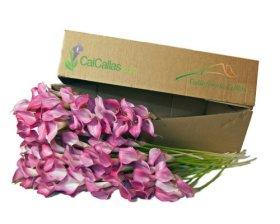 Pink Mini Calla Lilies 100 Stems, Callafornia Callas