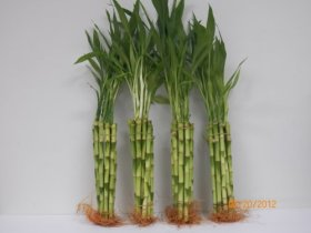 40 Stalks of 10″ Straight Bamboo Wholesale Price and Payless Get More.