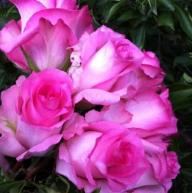 Pink Long Stem Rose 200 Stem