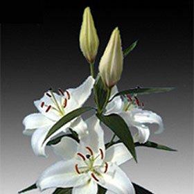 50 Oriental White Lilies Long