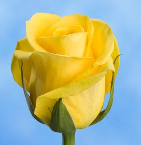Best Yellow Roses | 150 Gold Strike Roses Long