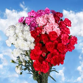 300 Mini Carnations Mother's Day Spray Wholesale