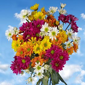 Fresh Assorted Chrysanthemums Daisies Flowers | 144 Pom Poms Assorted Daisies
