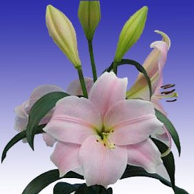 Asiatic Lilies Pink 40 Long Flowers