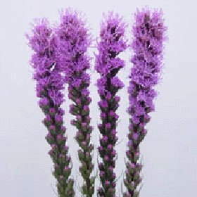 Liatris 120 Flowers Wholesale