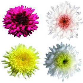 Beautiful Assorted Disbud Chrysanthemum Flowers | 100 Pom Poms Assorted