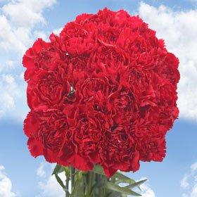 Romance Carnations | Burgundy Carnations | 100 Carnation Flowers
