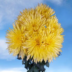 Fresh Yellow Fuji Spider Mums | 200 Fresh Cut Pom Poms Yellow Fuji Spider