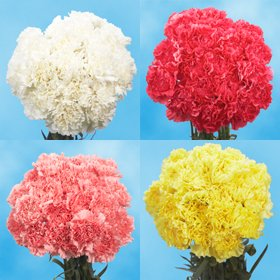 100 Color Carnations