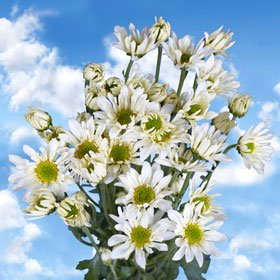 Gorgeous White Chrysanthemum Daisy Flowers | 144 Pom Poms White Daisies