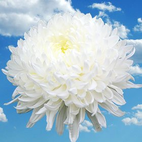 Best White Chrysanthemum Disbud Flowers | 200 Pom Poms White