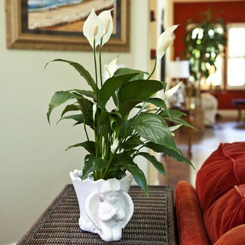 Sympathy Gift Peace Lily in Angel Container – Live Plant Gift – Green Gift – Sympathy Gift – Sympathy Plant – Bereavement Gift – Bereavement Plant – Ships fast via 2-Day Air