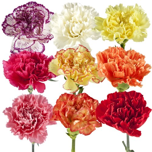 Wholesale Carnations (150 Assorted)