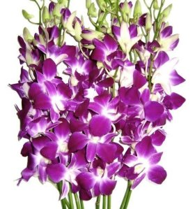 Valentine's Day -Purple Dendrobium Orchids