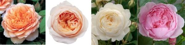 Пионовидная роза в свадебном букете. Букет невесты из ...
