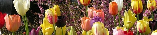 Pastel tulip blooms